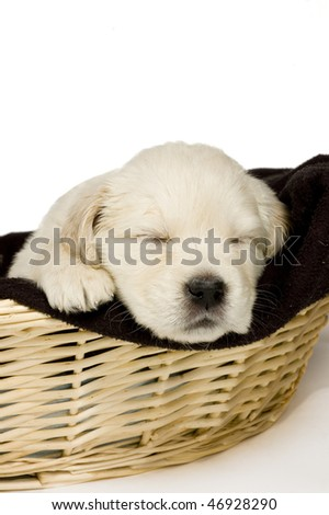 Golden retriever puppy sleeping in a basket on white background - stock photo