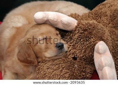 golden retriever puppy sleeping on stuffed moose animal - stock photo
