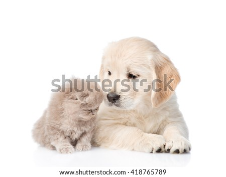 golden retriever puppy sniffing a scottish kitten. isolated on white background. - stock photo
