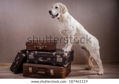 golden retriever puppy. suitcase