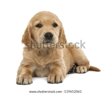 Golden retriever puppy, 7 weeks old, lying against white background - stock photo