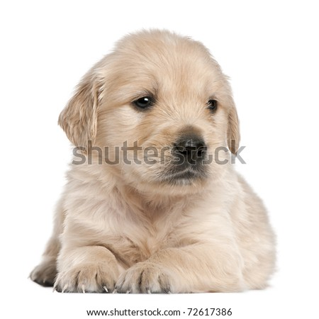 Golden Retriever puppy, 4 weeks old, lying in front of white background