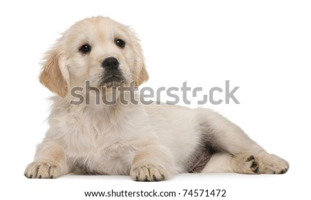 Golden Retriever puppy, 20 weeks old, lying in front of white background - stock photo