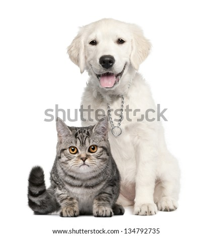 Golden Retriever puppy (14 weeks old) sitting next to a British Shorthair - isolated on white - stock photo