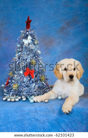 Golden Retriever puppy with blue silver Christmas tree - stock photo