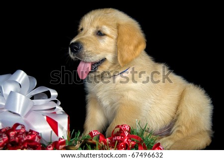 golden retriever puppy with Christmas gift - stock photo