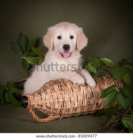 Golden retriever puppy with green leafs - stock photo