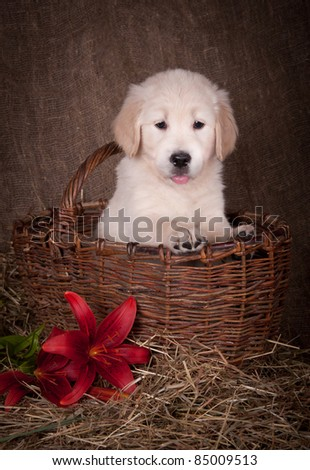 Golden retriever puppy with red lily - stock photo