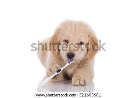 Golden retriever puppy with strabismus brushing his teeth looking straight isolated on white background