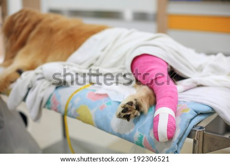 Golden retriever recovering with pink bandage After Veterinary Surgery - stock photo