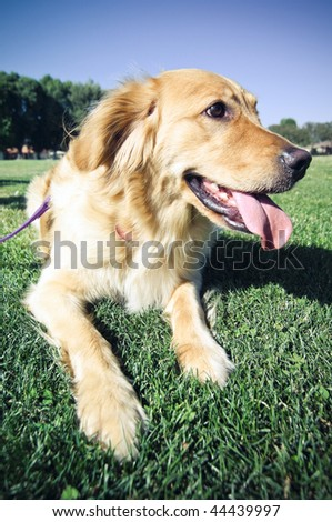 Golden Retriever Resting - stock photo