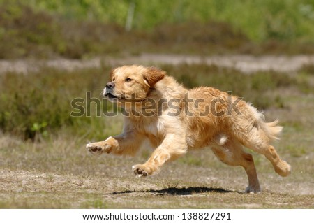 Golden retriever running - stock photo