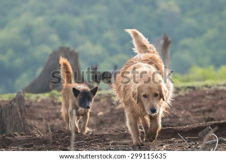 Golden Retriever running happy in the garden - stock photo