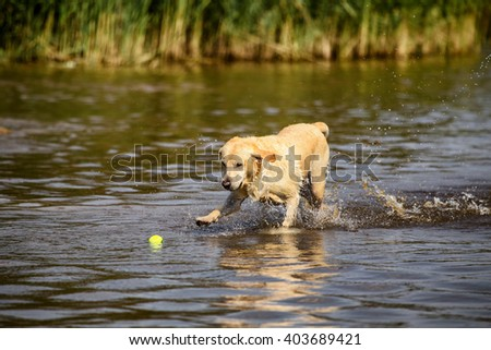 Golden retriever running in shallow water fetching a ball - stock photo