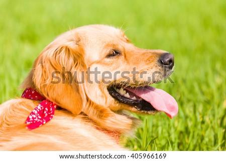 Golden retriever running on the lawn - stock photo
