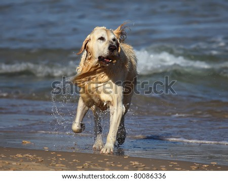 Golden Retriever  running out of water - stock photo