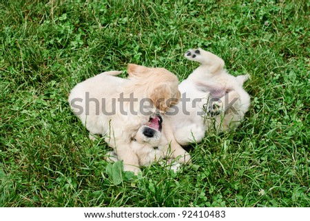 Golden retriever's puppies are playing in the grass