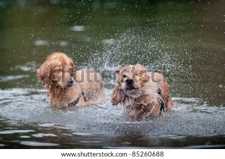 Golden retriever shakes off water while standing in the water. A second golden retriever closes his eyes to avoid the spray.