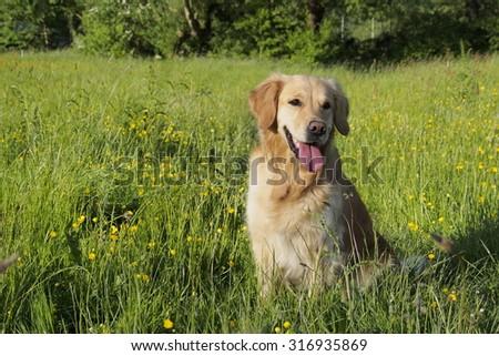 Golden Retriever sitting - stock photo