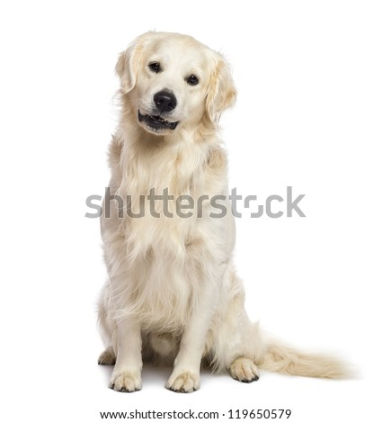 Golden retriever sitting and looking at camera against white background - stock photo