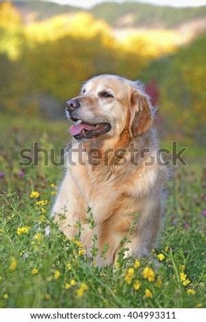 Golden Retriever sitting in meadow of flowers