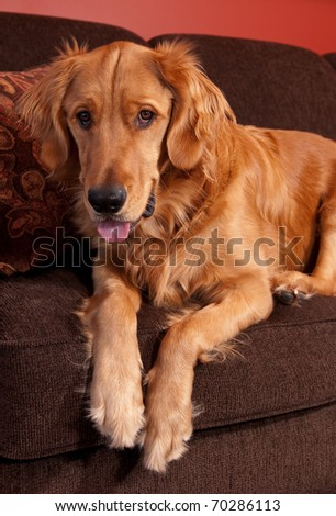 Golden Retriever sitting on the edge of a sofa looking down. - stock photo