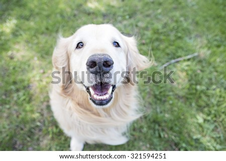 Golden Retriever sitting outside Smiling