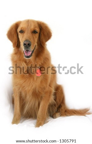 Golden retriever sitting up looking straight at camera - stock photo