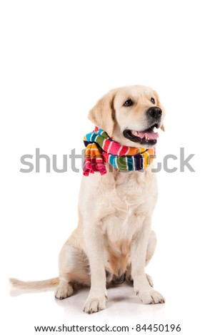 Golden Retriever sitting with a scarf - stock photo