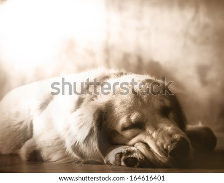 Golden Retriever sleep.  - stock photo