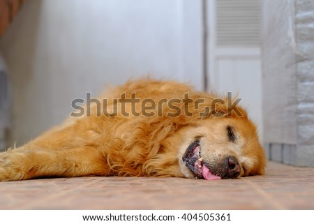 Golden Retriever Sleep