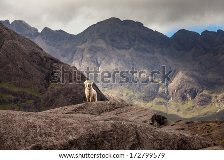 Golden Retriever standing high in the mountains of Loch Coruisk, Isle of Skye, Scotland - stock photo
