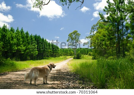 Golden retriever standing on a path to a forest - stock photo