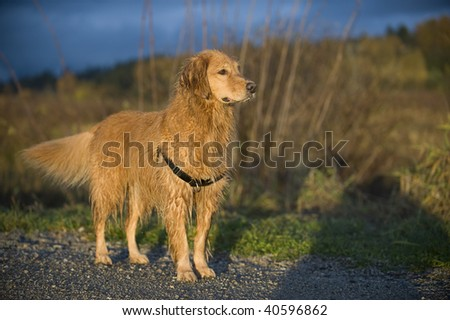 Golden Retriever stands on a gravel trail. Brown grasses and storm clouds appear in the out focus background.
