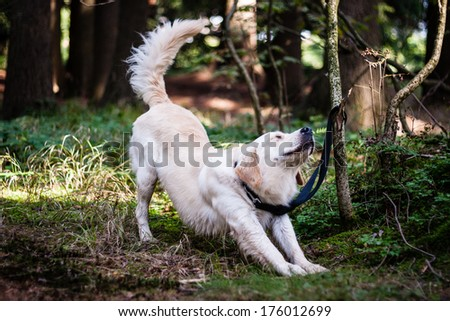 Golden retriever stretching in the forest - stock photo