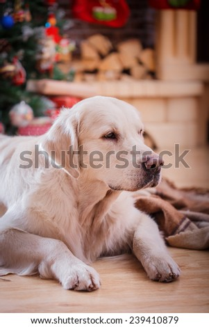 Golden retriever, studio portrait dog on a color background, Christmas and New Year - stock photo