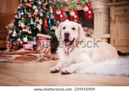 Golden retriever, studio portrait dog on a color background, Christmas and New Year