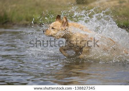 Golden retriever swimming - stock photo