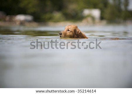 Golden Retriever swims in a lake across the camera frame. A large out of focus area of water is in the bottom of the frame. An out of focus beach is in the background.