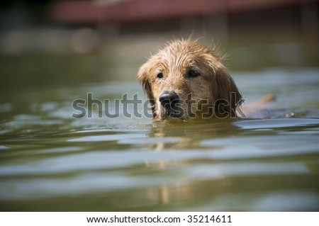 Golden Retriever swims in a lake to the right of the camera. He is mostly submerged.