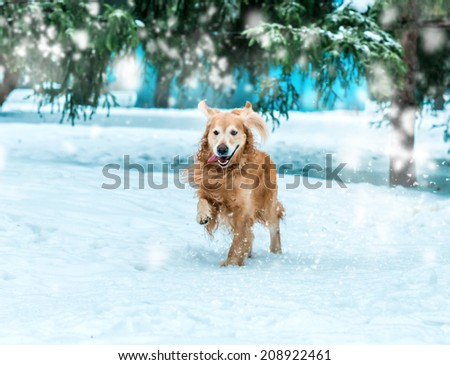 golden retriever walk at the snow in winter park - stock photo