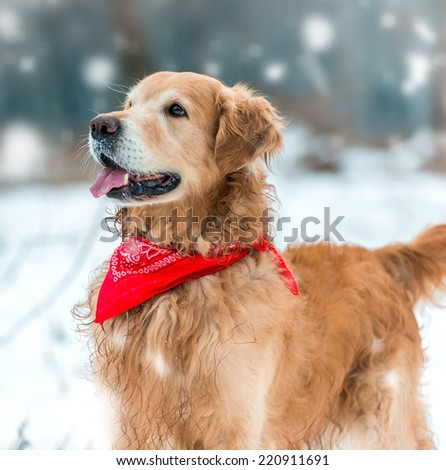 golden retriever walk at the snow in winter park close-up - stock photo