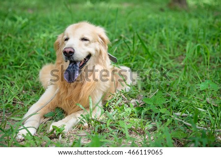 Golden Retriever with collar and rope sitting in garden