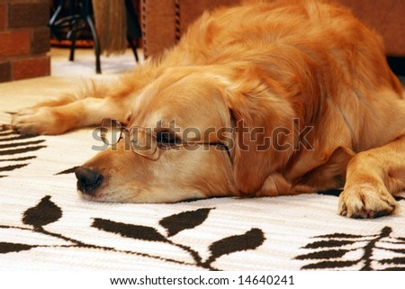 Golden retriever with glasses laid down on the carpet - stock photo
