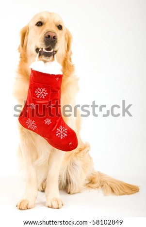 Golden Retriever with Santa stocking in mouth, on white background - stock photo