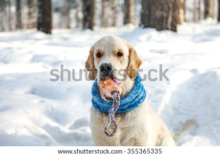 Golden retriever with toy winter. Dog in the snow. Scarf for dogs. Clothes and toys for dogs