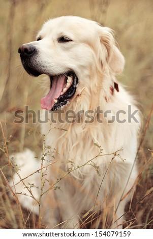 Golden Retriever yawns - stock photo