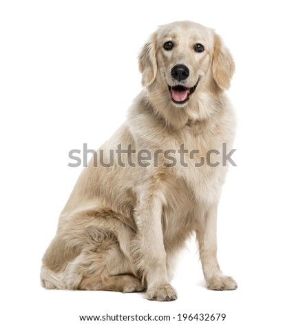 Golden Retriever (1 year old) - stock photo