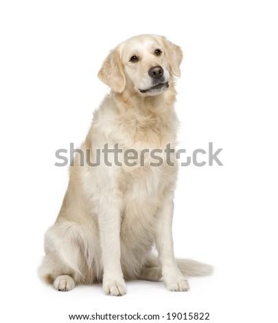 Golden Retriever (2 years) in front of a white background - stock photo