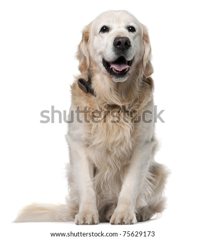 Golden Retriever, 11 years old, sitting in front of white background - stock photo